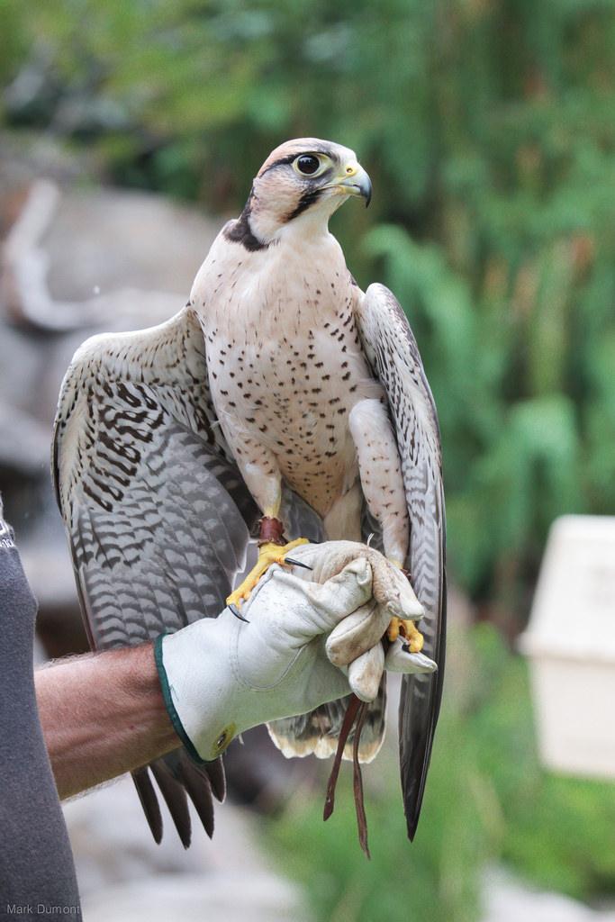 lanier-falcon